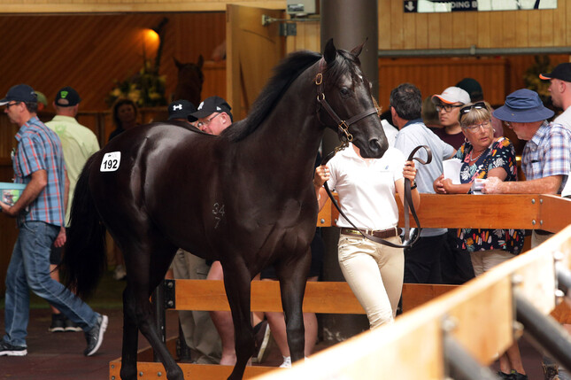 No Limits was purchased by Te Akau principal David Ellis for $1.4 million at this year's New Zealand Bloodstock Yearling Sale.  - Trish Dunell